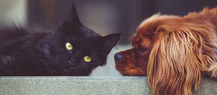Husdjursallergi
